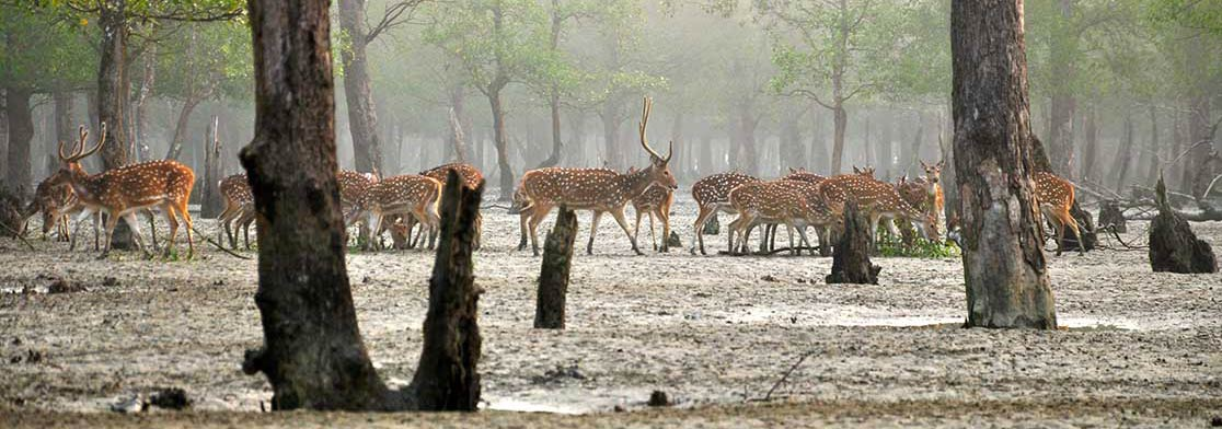 Chitals (axis deers) in the Sundarbans