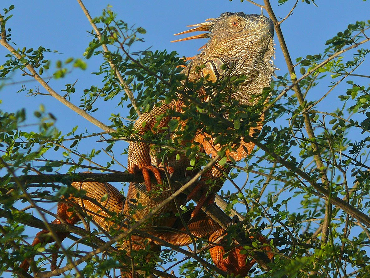 Green Iguana in the Crooked Tree Wildlife Sanctuary of Belize