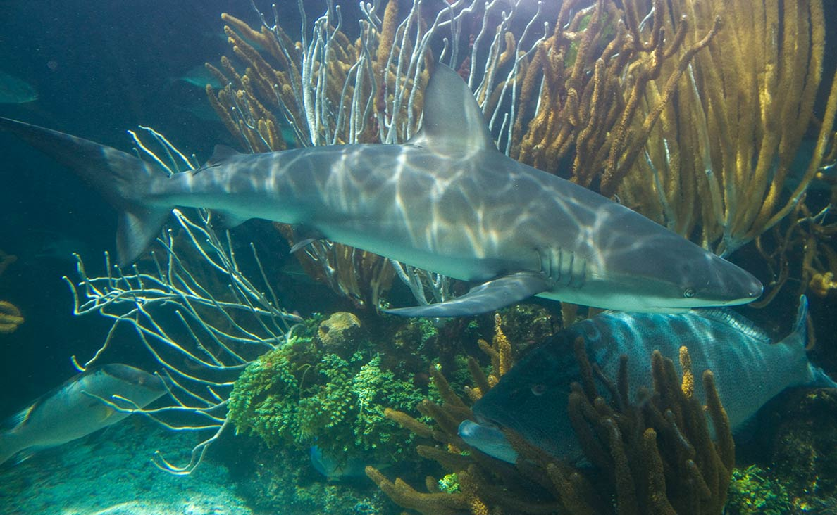 Reef shark, grouper, and hogfish, Bermuda