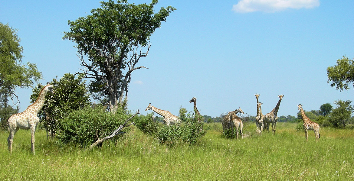 Giraffes in the Okavango Delta, Botswana