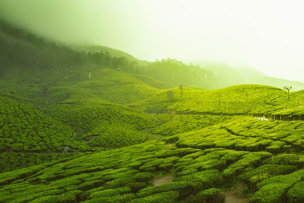 Tea gardens of Munnar, Kerala, India
