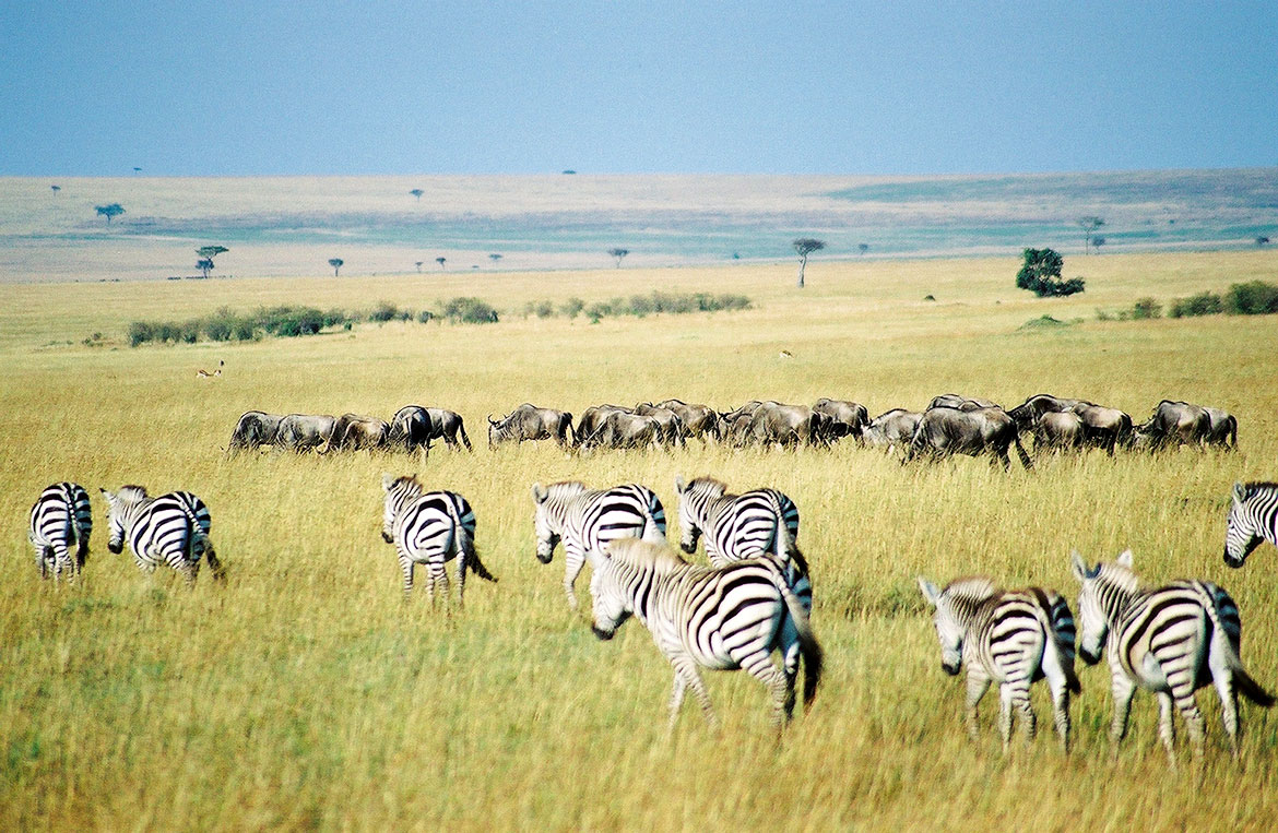 Gnus and Zebras in Maasai Mara National Reserve in Narok County, Kenya