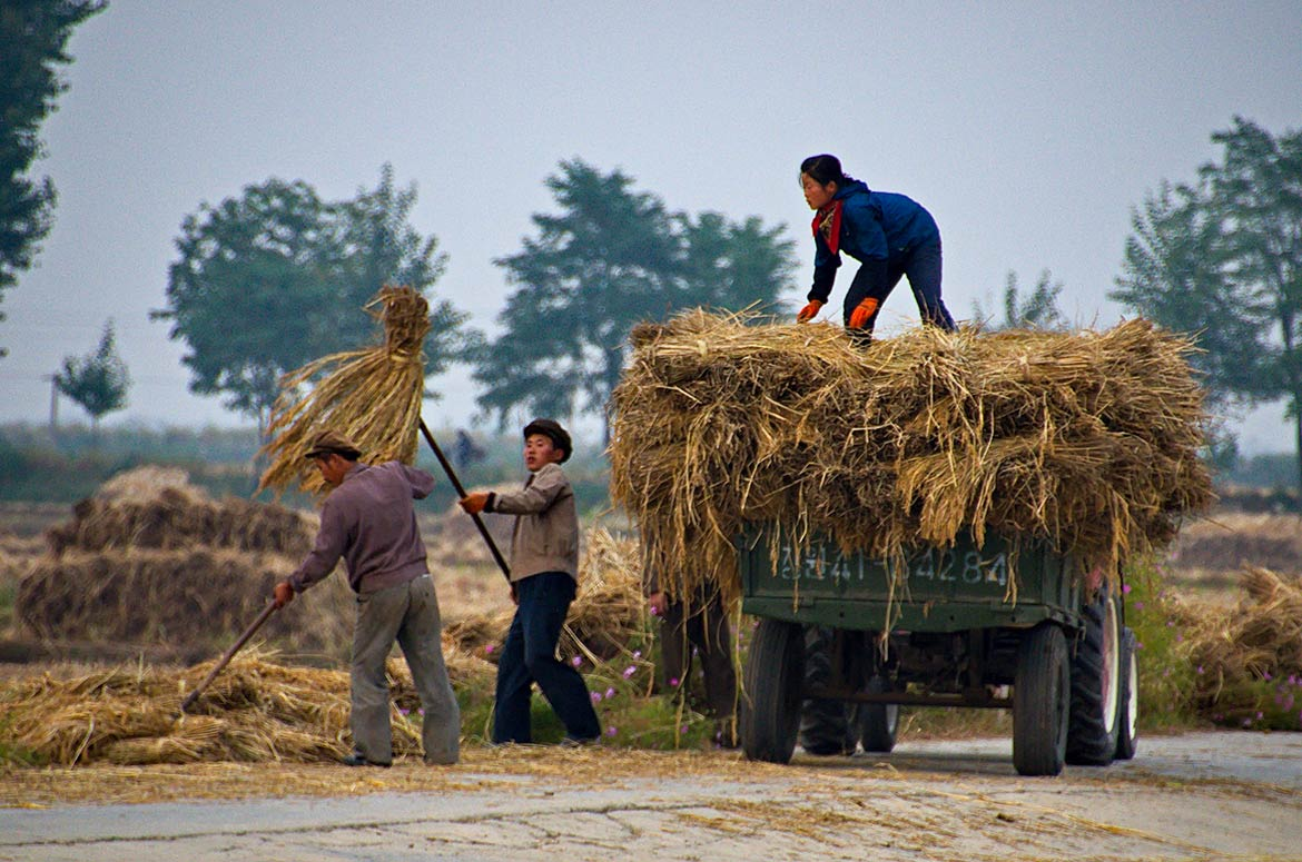 Harvest at Chon Sam agriculture co-operative