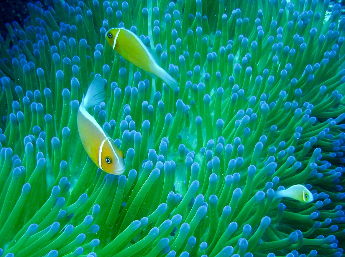 Sea anemone and clownfishes, Coral reef, Pohnpei