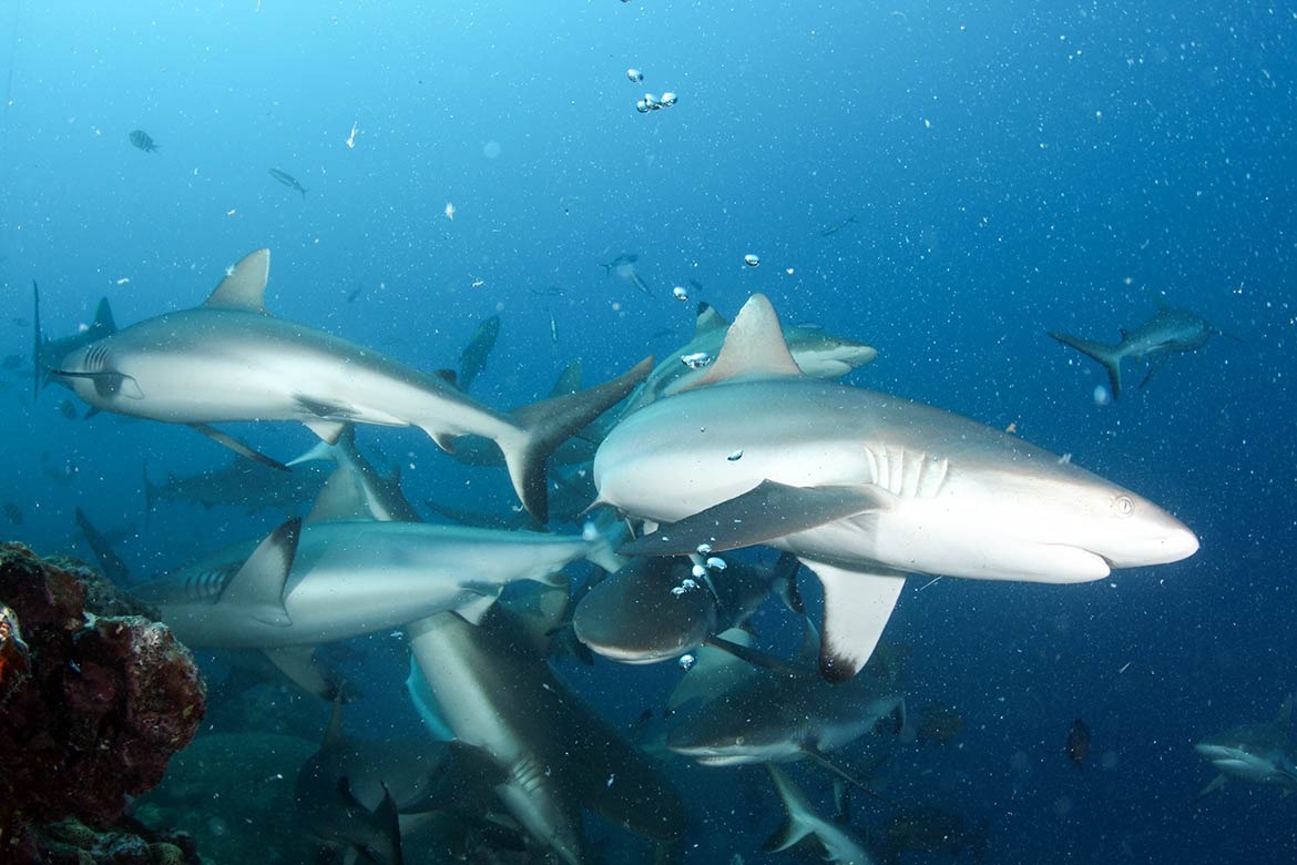 Feeding of Grey reef sharks near Yap, FSM