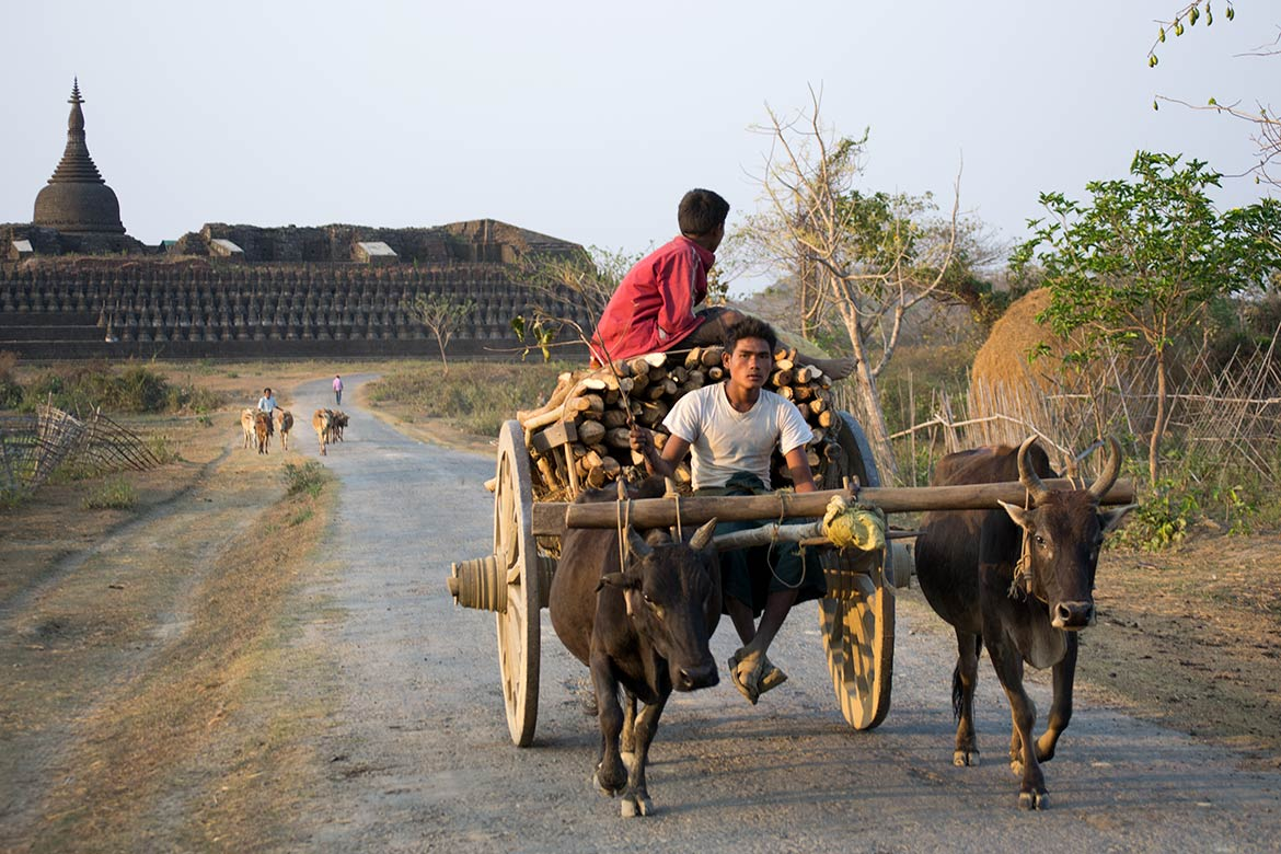 Wood transport with oxcart in Mrauk U with Khoe Thaung temple