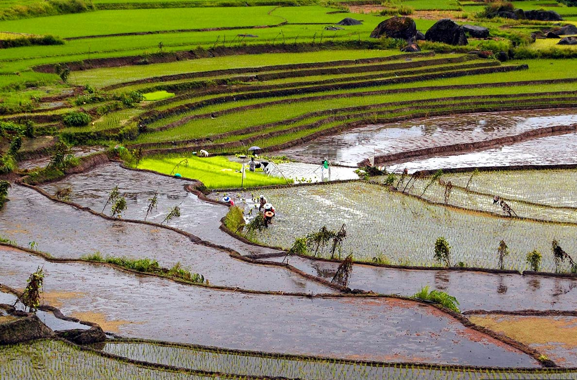 Farmers plant rice at the stonewalled Nagacadan Rice Terraces, Philippines