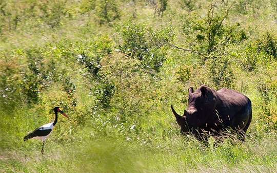 A Saddlebilled Stork and a Rhino in Kruger National Park