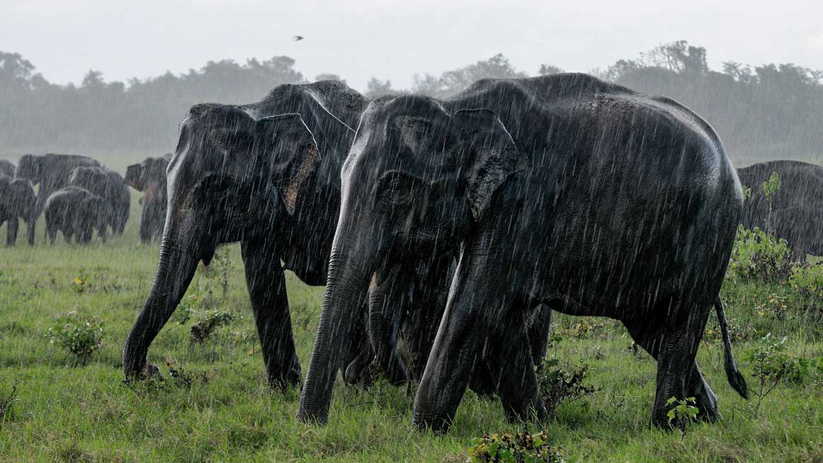 Elephants in the rain in Kaudulla National Park