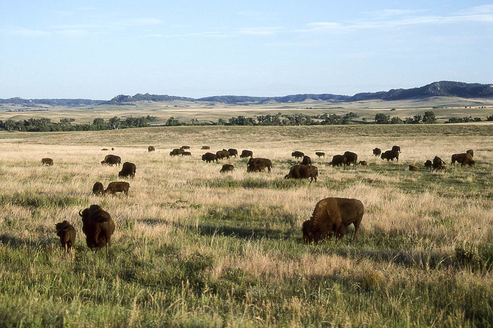 Bison at Fort Robinson Lodge, Crawford, Nebraska