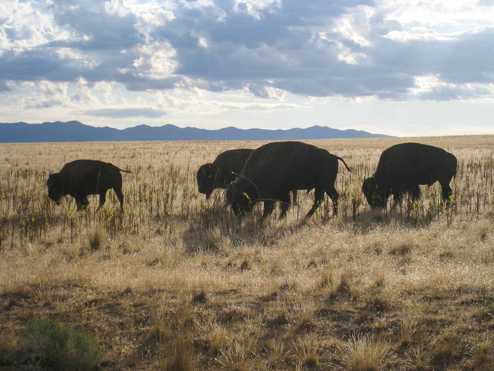 Bisons at Antelope Island, Utah