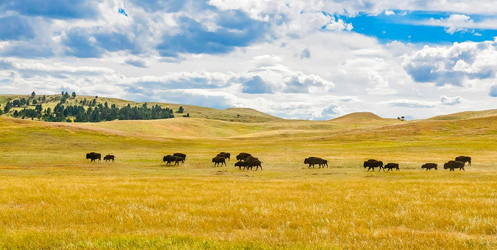Buffalos on the Great Plains of South Dakota - Reference Maps Of South Dakota, USA - Nations Online Project