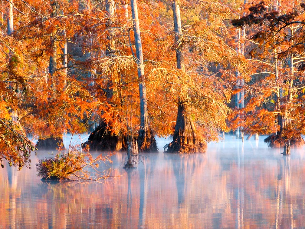 Coniferous trees at Bluff Lake at the Noxubee National Wildlife Refuge, Mississippi