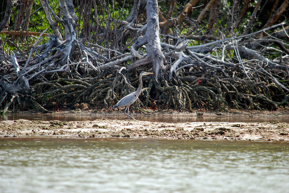 Great Blue Heron and Black Mangroves in Florida's Everglades National Park