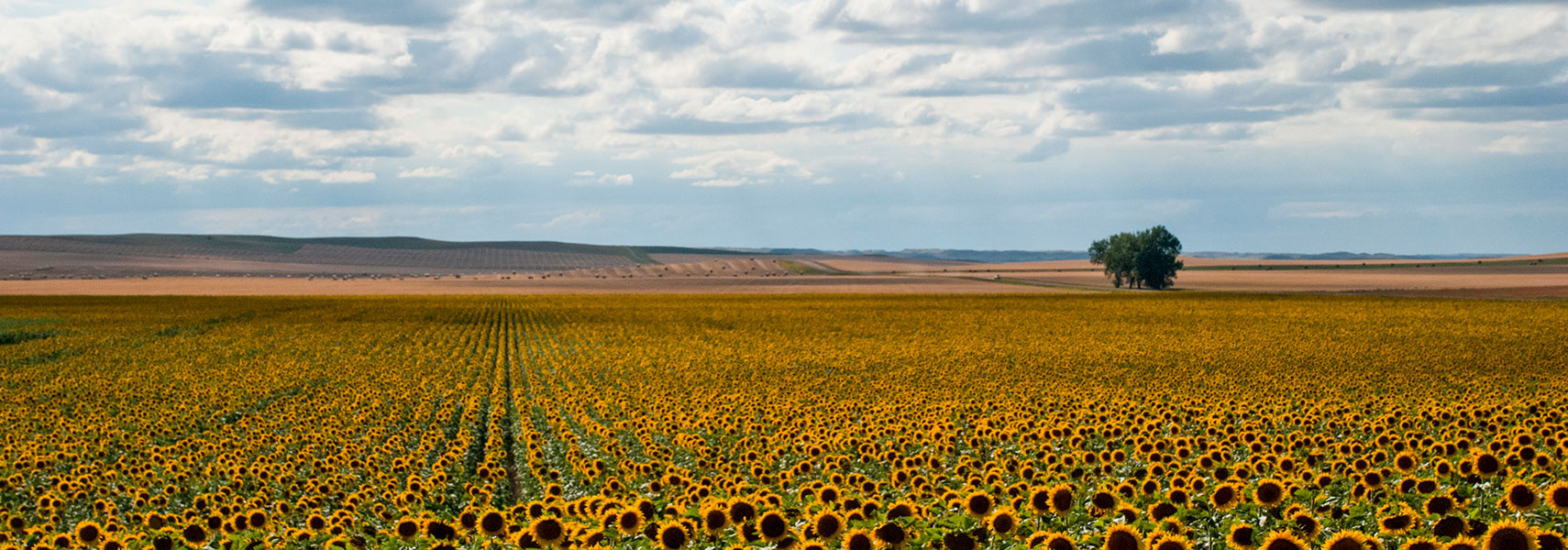 Sunflower field in North Dakota