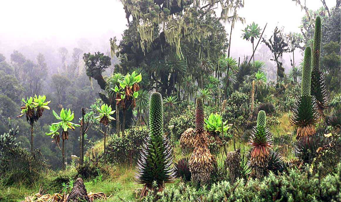 Plants in the Bujuku Valley, Rwenzori Mountains National Park