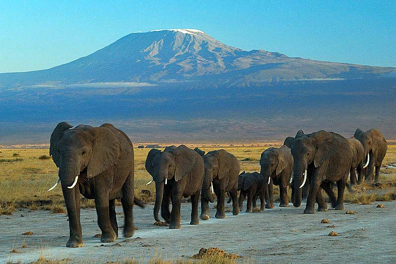 Elephants at Mount Kilimanjaro